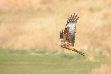 A Red Kite flying low against a backdrop of rough hill pasture. Standard-Bild