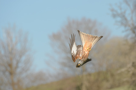 A Red Kite diving towards food on the ground.