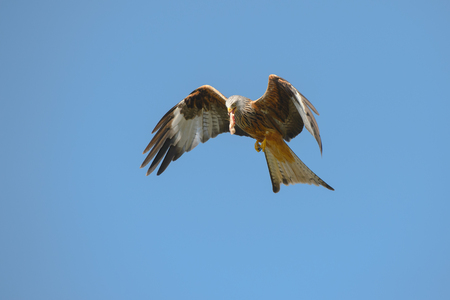 A Red Kite climbs back into the air after picking up food from the ground at a kite feeding station in Wales.