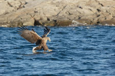 Whitetailed 독수리 노르웨이의 피 요 르 드에서 Coalfish에 대 한 사냥.