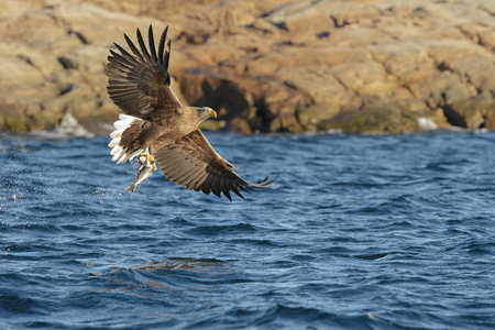 coal fish: Whitetailed Eagle hunting for Coalfish in the fjords of Norway.