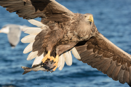 carnivorous fish: Whitetailed Eagle hunting for Coalfish in the fjords of Norway.