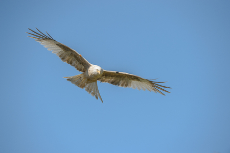 A leucistic Red Kite flying against a blue sky background.