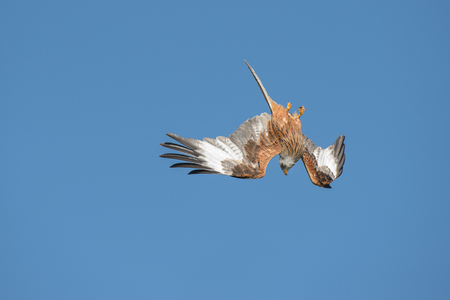 frenzied: A Red Kite flying in a vertical dive against a blue sky background.