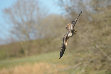 maneuverability: A Red Kite flying at high speed close to the ground.