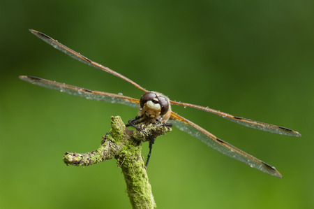 chaser: A Four-spotted chaser, or Four-spotted skimmer as it is known in America, perched facing the camera against a vivid green background. Stock Photo
