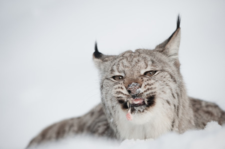 morsel: A Lynx feeding on the last morsel of a meal while lying in deep snow.