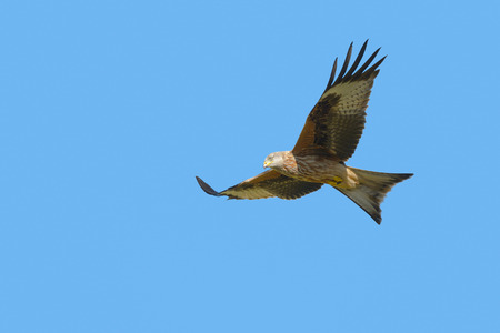 A Red Kite in flight  against a cloudless blue sky.
