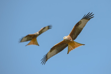 frenzied: A Red Kite in flight  against a blue sky. Stock Photo