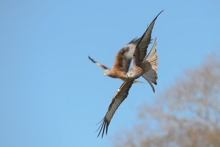 sky dive: A Red Kite in a fast dive against a blue sky.