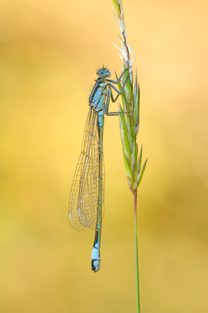 odonata: Blue-tailed damselfly perched on a grass stem.