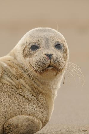 looking directly at camera: A Grey Seal pup looking directly at the camera. Stock Photo