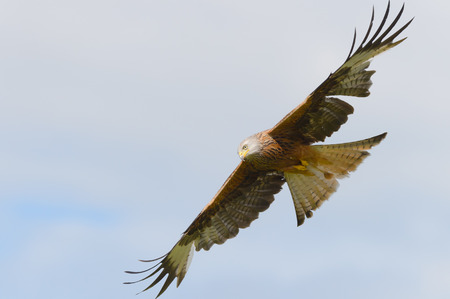 Red Kite in flight at a feeding station in Wales.