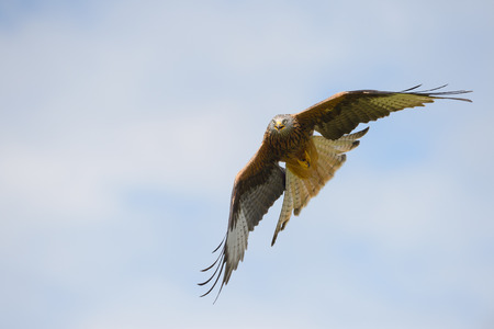 Red Kite in flight and looking directly at the camera.