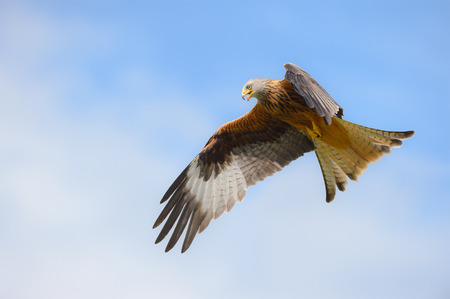 A Red Kite in flight  against a summer sky, calling to its fellow flock members.