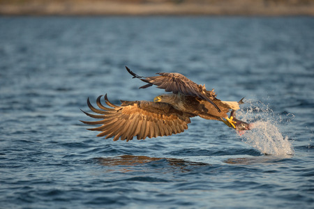 A White-tailed eagle carrying its prize, a fish which it has just plucked from the waters of a deep Norwegian fjord.
