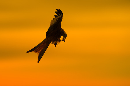 hectic: A silhouetted Red Kite climbs back into the air against a late afternoon sky at a kite feeding station in Wales.