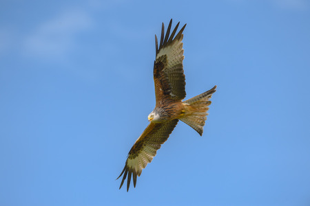 hectic: A Red Kite flying against a deep blue sky.