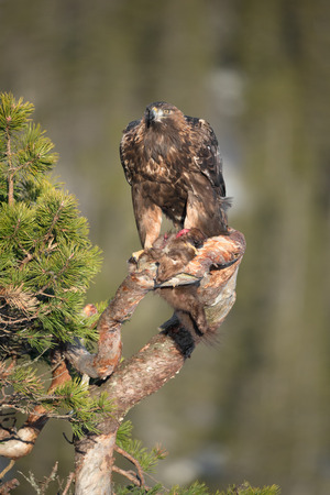 golden eagle: A young male Golden Eagle feeding on a Pine Marten on the branch of a gnarled pine tree. Stock Photo