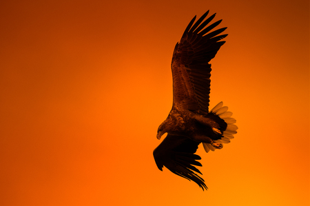yellow tailed: A White-tailed Eagle hunting against the vivid orange sky of a Norwegian midnight sun.