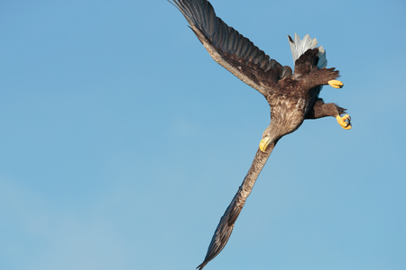 whitetailed: A White-tailed Eagle manoeuvres into a steep fast dive. Stock Photo