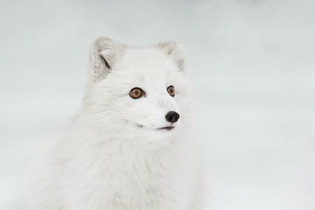 arctic fox: A close up of an Arctic Fox in its winter coat.