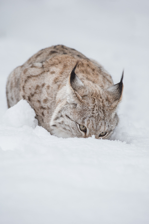 morsel: A Eurasian Lynx lying in deep snow eating a small morsel of food. Stock Photo