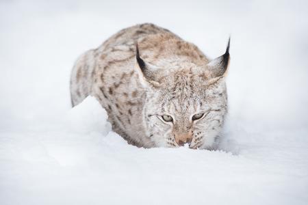 lince: Un lince eurasiático tumbado en la nieve profunda Foto de archivo