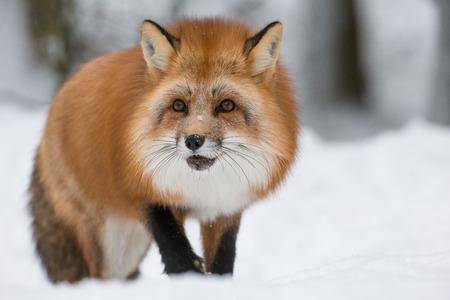 長いオレンジの冬のコートを持つノルウェーの冬の深さで赤狐。