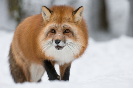 A Red Fox in the depths of a Norwegian winter with its long orange winter coat.