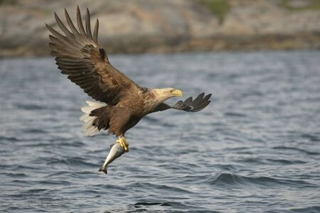 white tailed eagle: A White tailed Eagle lifts its catch from the Norwegian Sea.