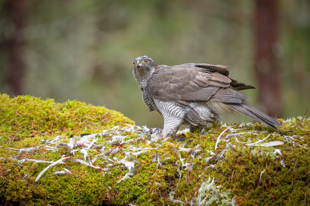 keen: A male Goshawk feeding on prey in the depths of a forest. Stock Photo