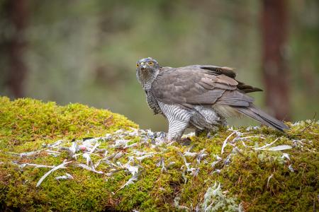 goshawk: A male Goshawk feeding on prey in the depths of a forest. Stock Photo