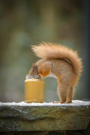 A funny image of a Red Squirrel standing on its back legs and eating peanut butter from a jar.