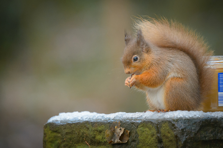 hazel nut: A Red Squirrel sitting on an a snow covered wall eating a hazel nut.