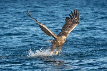 misses: A hunting Norwegian White-tailed Eagle misses its intended target in a plume of salt water spray - one that got away. Stock Photo
