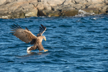 A hunting Norwegian White-tailed Eagle makes a final attack on its intended prey fish.
