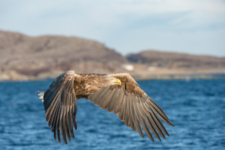 A hunting Norwegian White-tailed Eagle in flight, against a blue sea, with a rocky shoreline in the background. Standard-Bild