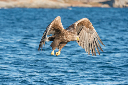 a hunting norwegian white tailed eagle in flight against a blue
