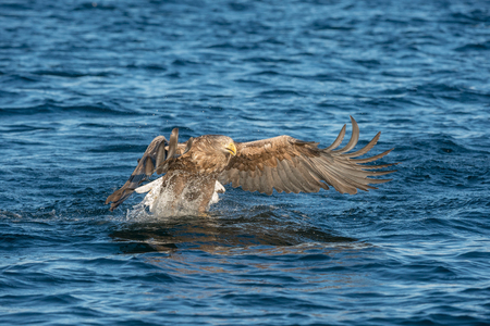 whitetailed: A hunting Norwegian White-tailed Eagle makes a final attack on its intended prey fish.