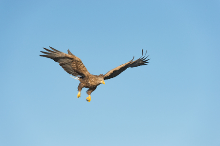 A hunting Norwegian White-tailed Eagle in flight, against a blue sky.