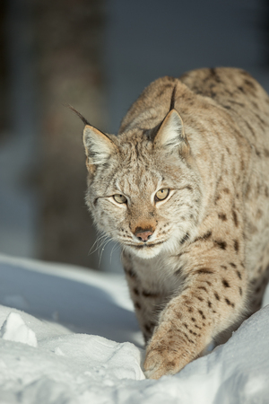 looking directly at camera: A close up view of a Lynx walking through deep snow and looking directly at the camera.