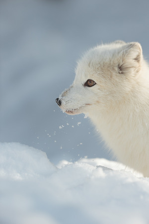 morsels: An Arctic Fox uses its sensitive nose to sniff out morsels of food under the snow.