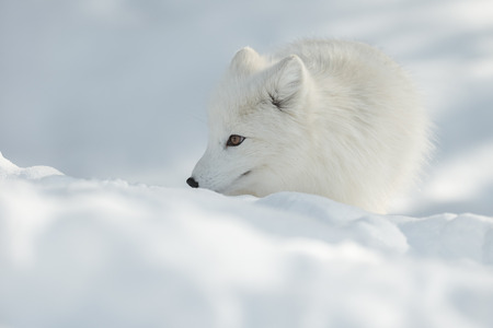 An Arctic Fox uses its sensitive nose to sniff out morsels of food under the snow.