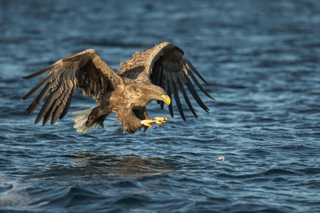 whitetailed: A close up view of a White-tailed Eagle catching its prey. Stock Photo
