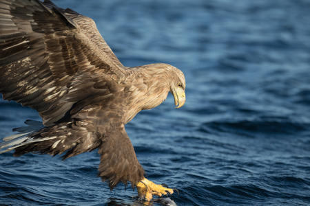 A close up view of a White-tailed Eagle catching its prey. Standard-Bild