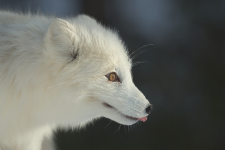An Arctic Fox in its winter coat of long white fur.