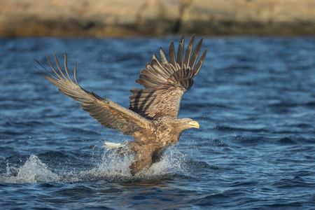 swoop: This eagle has made a crashing dive onto its target and caused a large amount of spray to be thrown into the air.