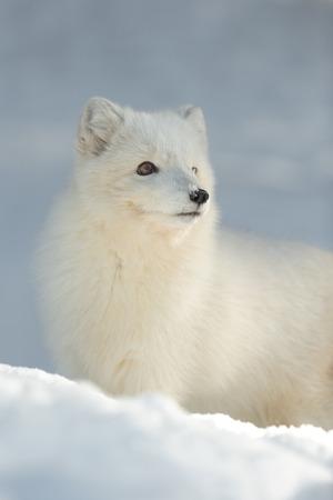 하얀 겨울 코트에서 꽤 북극 여우의 초상화.