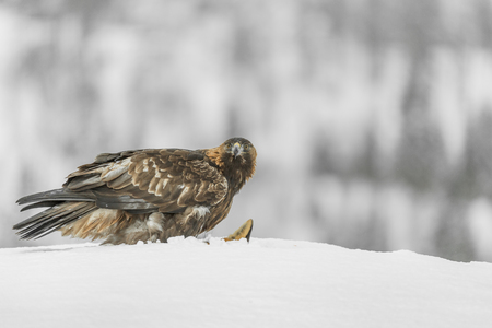 A Golden Eagle in the wilderness of the Norwegian mountain winter.